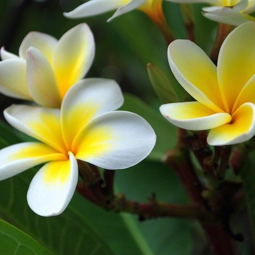 Organic Frangipani Essential Oil Enfleurage Aka Plumeria Essential Oil Beautiful Flowers Hawaiian Flowers Plumeria