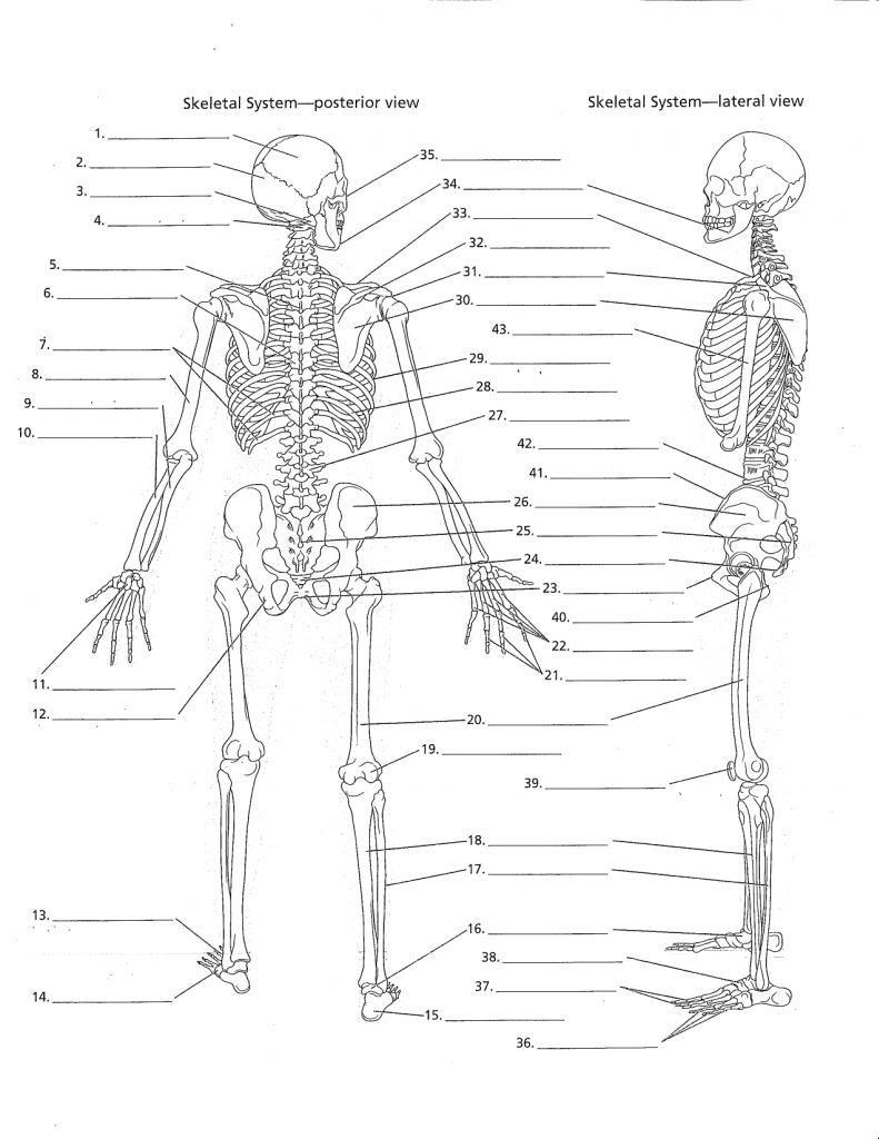 Unlabeled Human Skeleton Diagram . Unlabeled Human