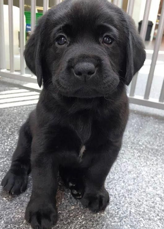The traits we love about the Active Chocolate Labrador Puppy #labradorretrieverpuppys #labradorretrieverdogsoninstagram #LabradorPuppy #cutepuppies