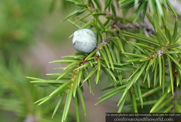 Juniperus rigida cone