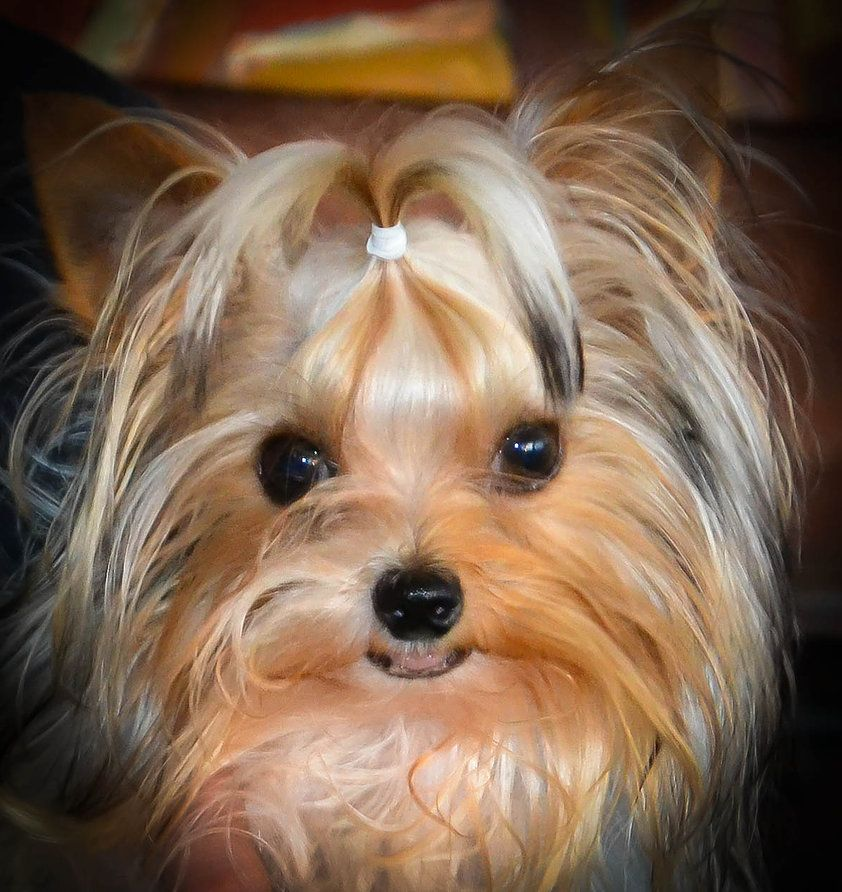 Yorkie Yorkies Pinterest Yorkshire Terrier Yorkshire And Yorkies