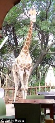 The cheeky giraffe spots the food has been delivered to the family (pictured)...(Meanwhile in Africa, MacDonald's is testing a new 'walk-in' restaurant.)