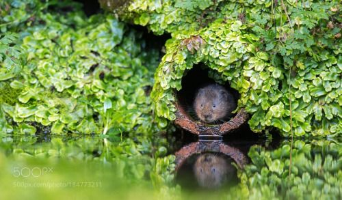 Caught in the Moment, vole in a hole.. © by bridgephotography