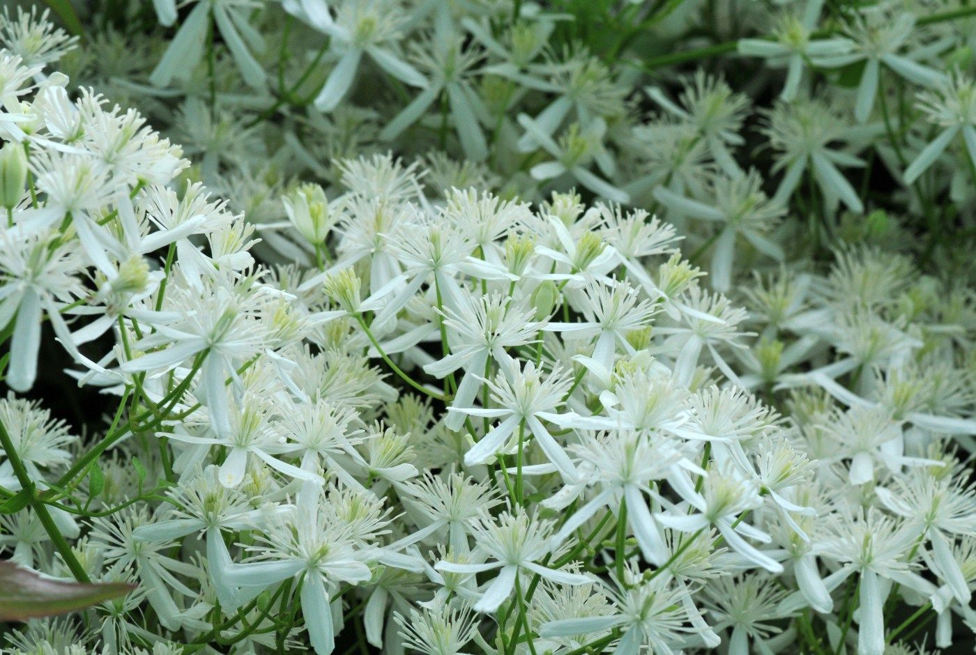 Sweet Autumn Clematis Lots Of Small White Fragrant Flowersmost