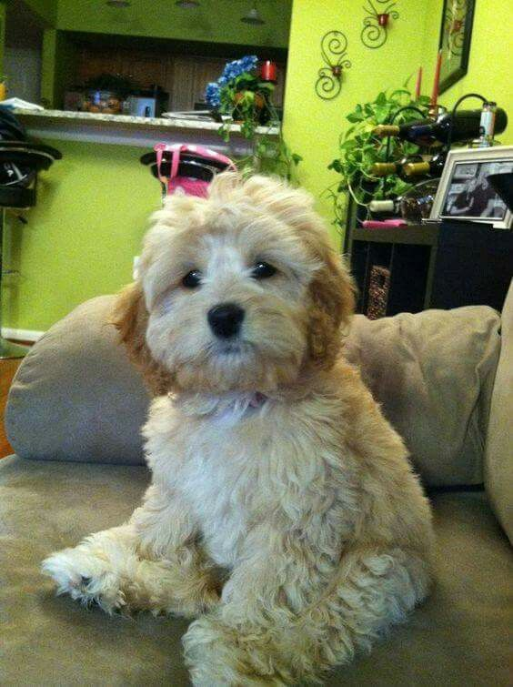 Havanese Dogs, Goldendoodles, Labradoodles, Havapoo Puppies, Havanese  Grooming, Schnoodle Puppy,
