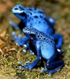 Endangered Species   poisones dart frog