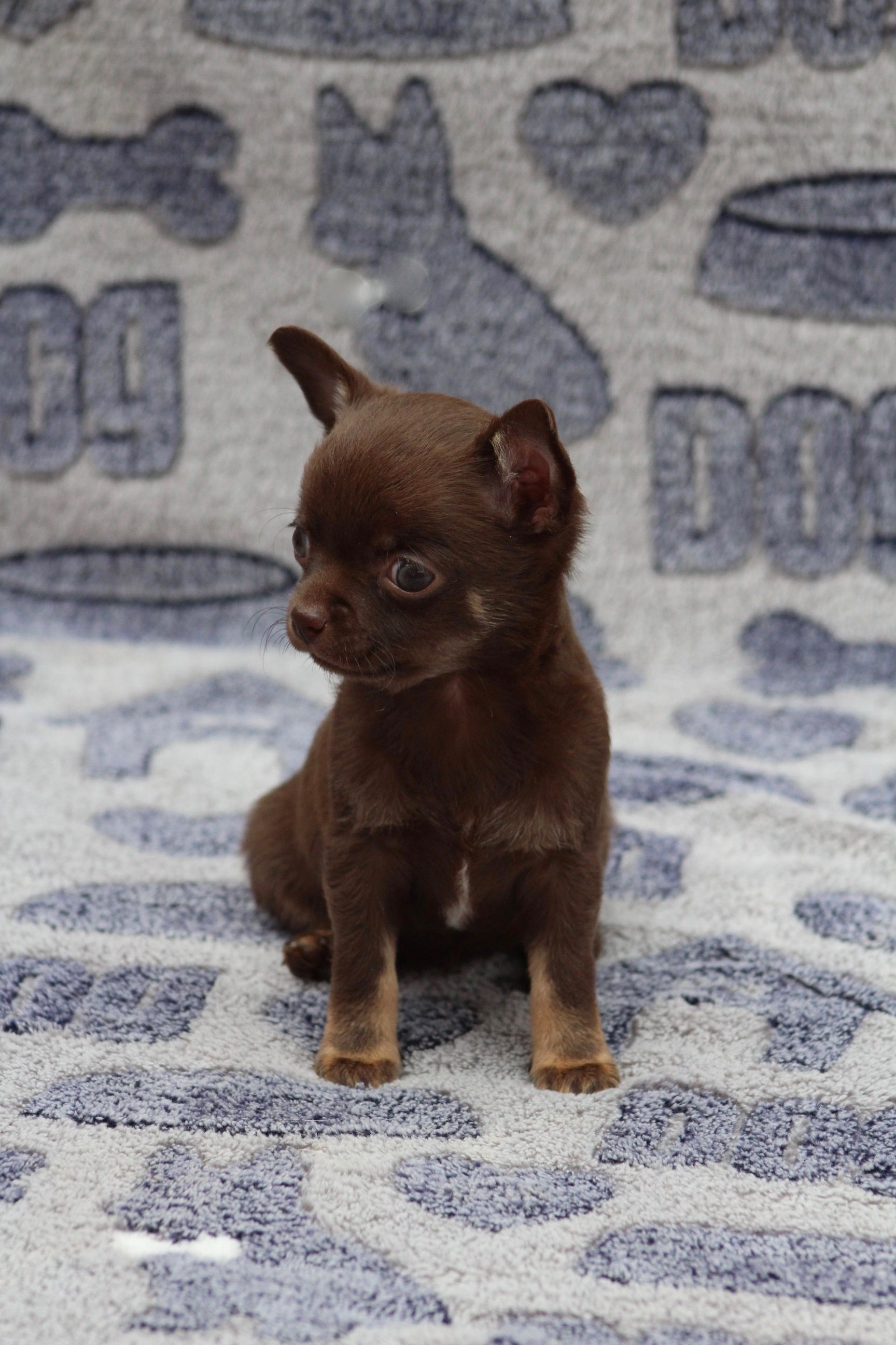 Tiny Chocolate Girl Info At Www Wowdogs Co Uk Chihuahua Pup