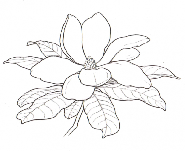 Magnolia Flower Outline Google Search Flower Drawing Flower Coloring Pages Outline Drawings