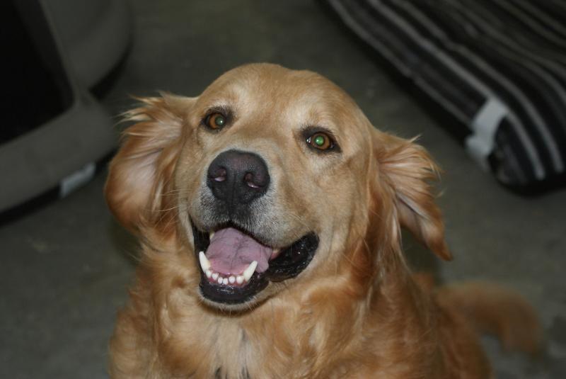 Adopt Cheddar On Dogs Needing Forever Homes Golden Retriever