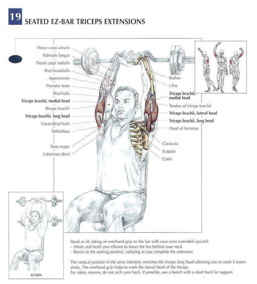 Best Tricep Isolation Workout Muscle Anatomy | Muscle anatomy ...