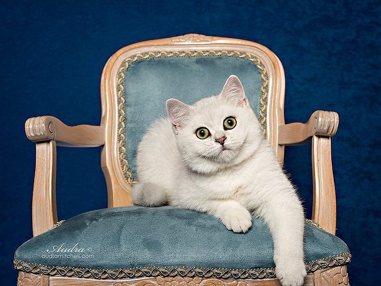 Bella Feliland British Shorthair Black Silver Chinchilla Bri Ns 12 British Shorthair British Shorthair Cats British Shorthair Kittens