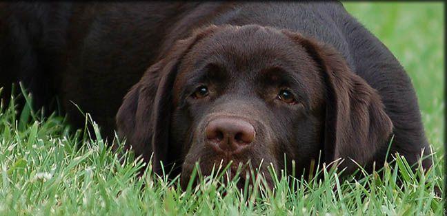 Chocolate Lab Labrador Retriever Labrador Breeders Lab Puppies