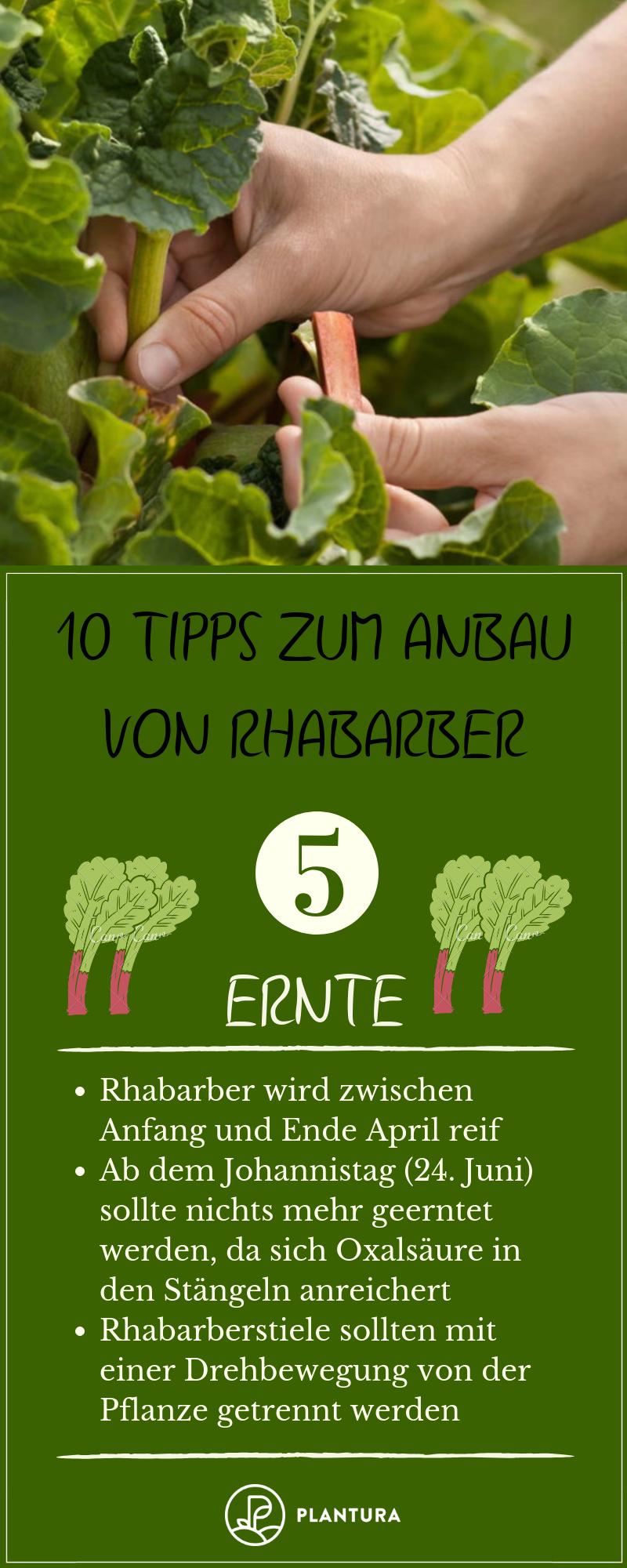10 Tipps zum Anbau von Rhabarber #tomatenzüchten