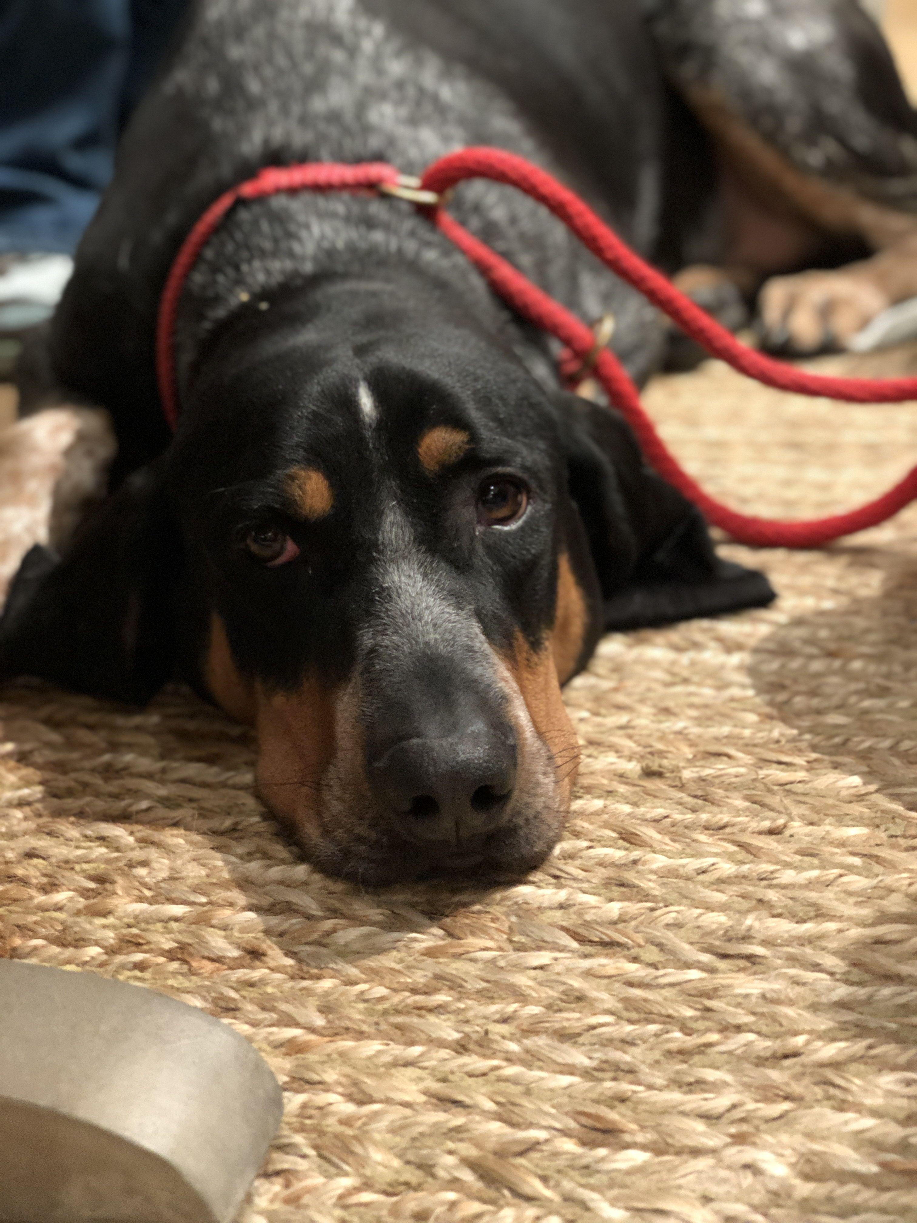 Bluetick coonhound dog for adoption in denton tx adn