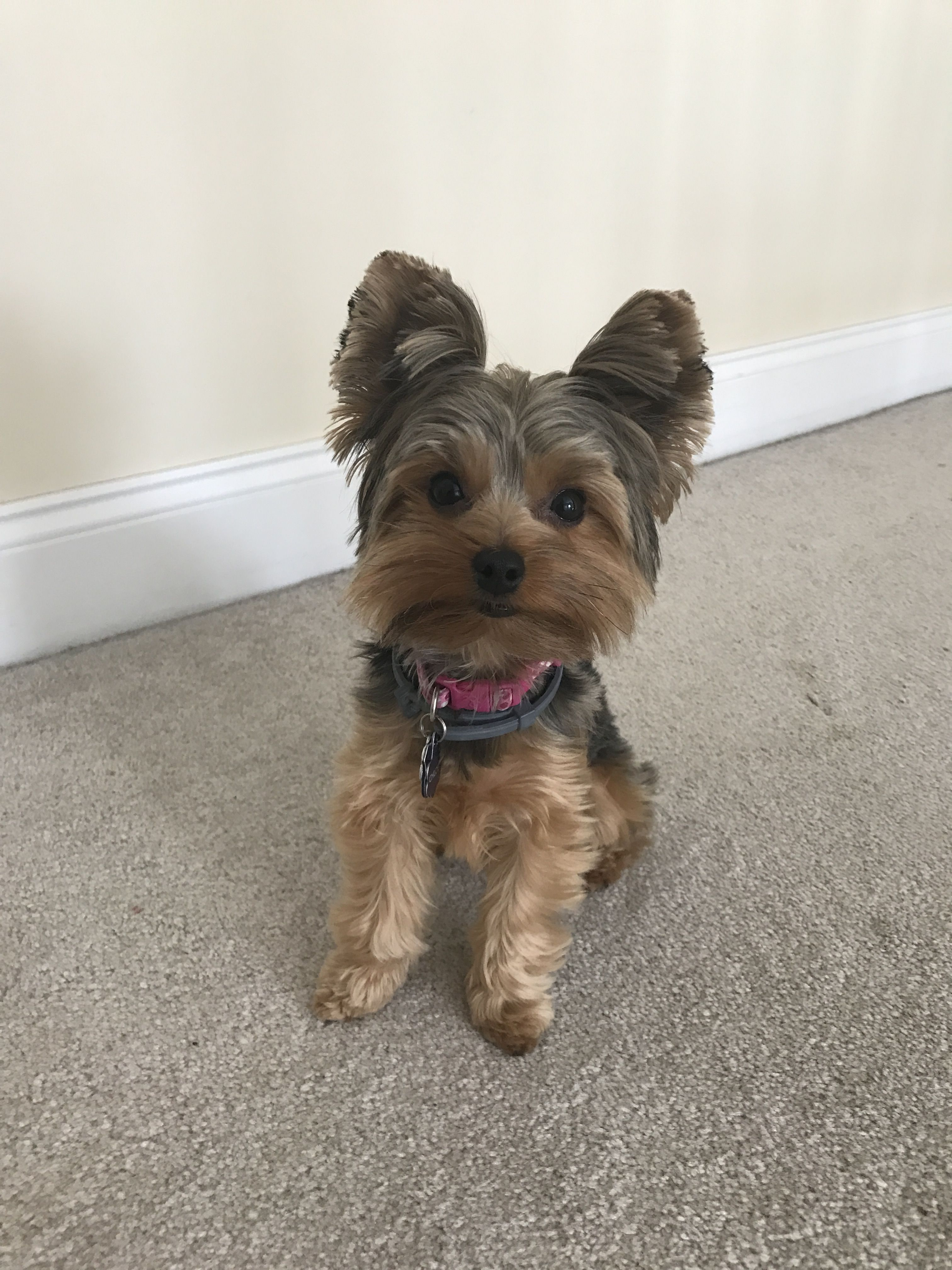 Pin By Sandy Bonfiglio On Teacup Yorkie Yorkie Puppy Haircuts Yorkshire Terrier Cute Dogs