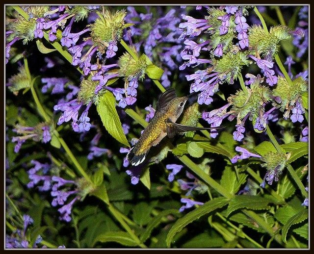 Nepeta nervosa aka Catmint care and supplier information