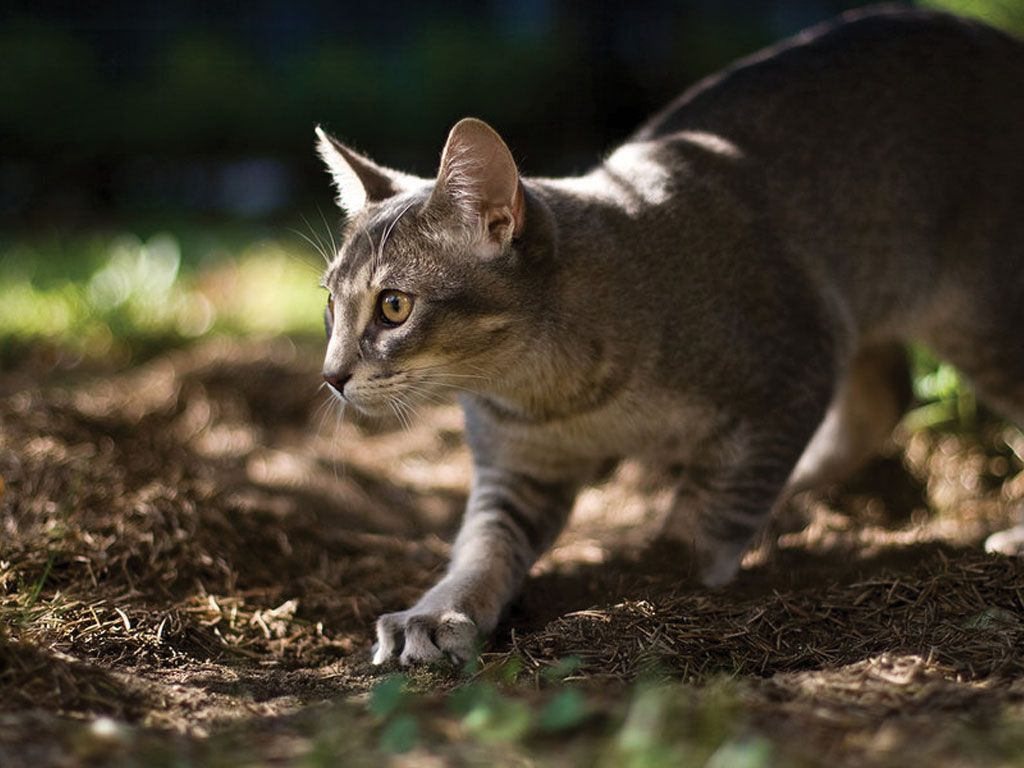 Black Abyssinian Cats | Here kitty kitty..... (=^.^=) | Pinterest ...