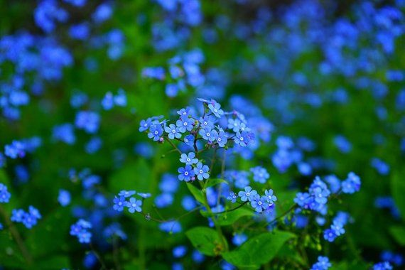 Forget-me not - 100 seeds | Products | Types of blue flowers