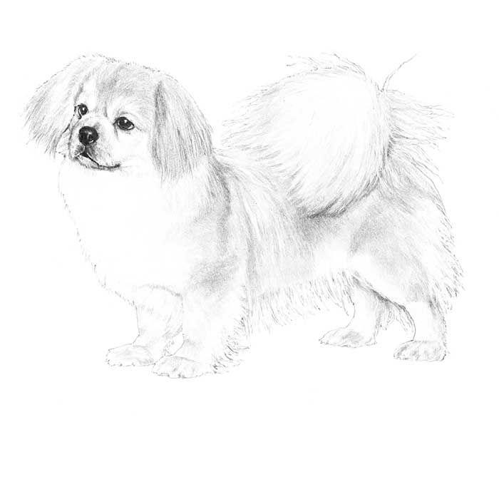 Tibetan Spaniel Dog Breed Information Dog Breeds Tibetan