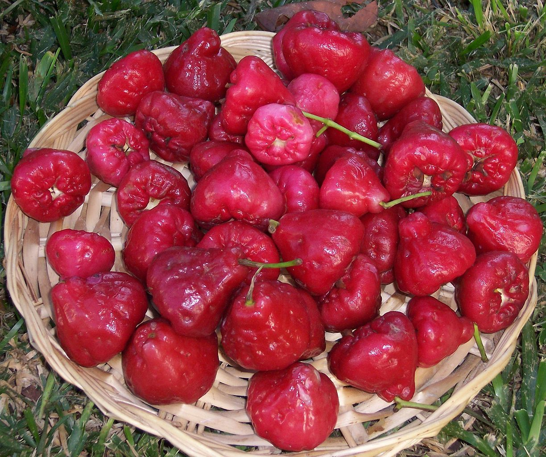 Java apple, jambu air semarang (Syzygium samarangense