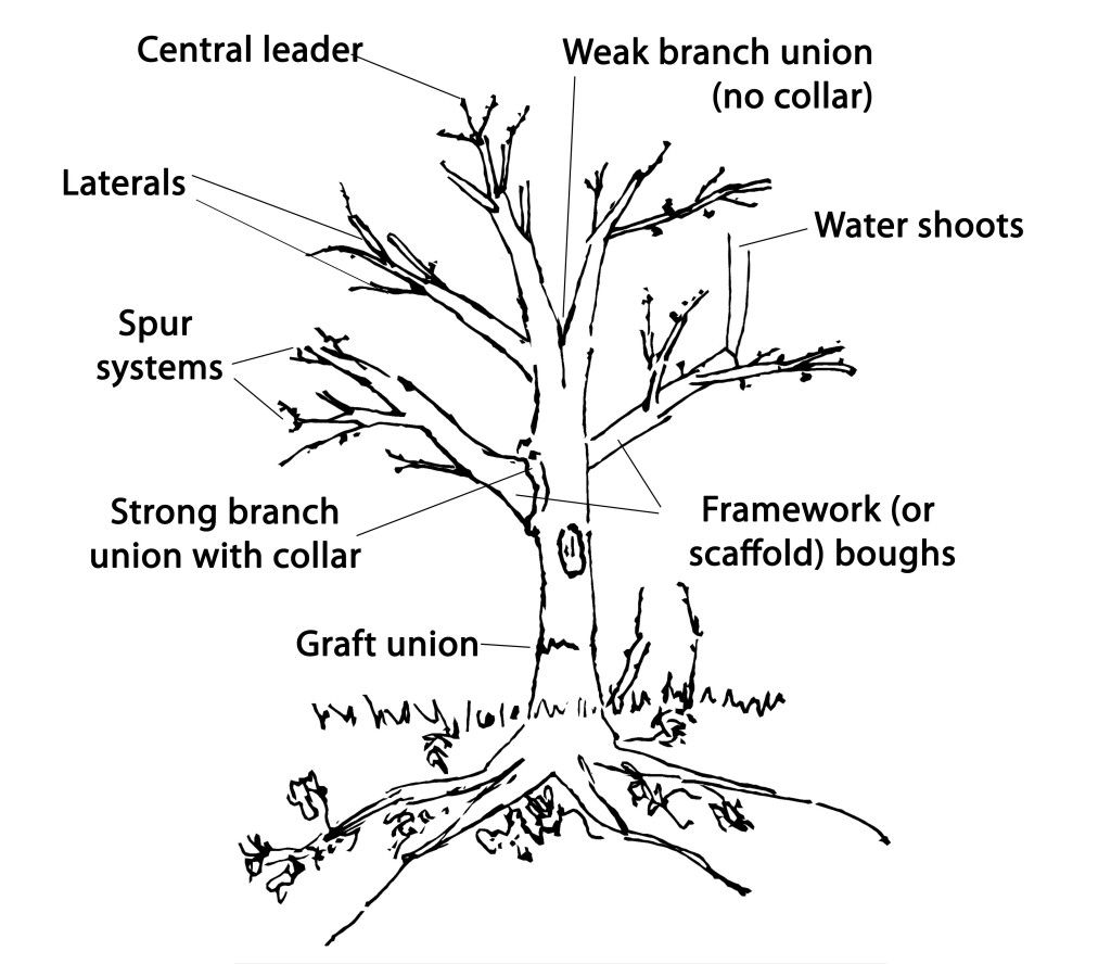 Diagram Of How To Prune Apple Trees How Does A Grow Apple Tree Pruning Tree People Prune