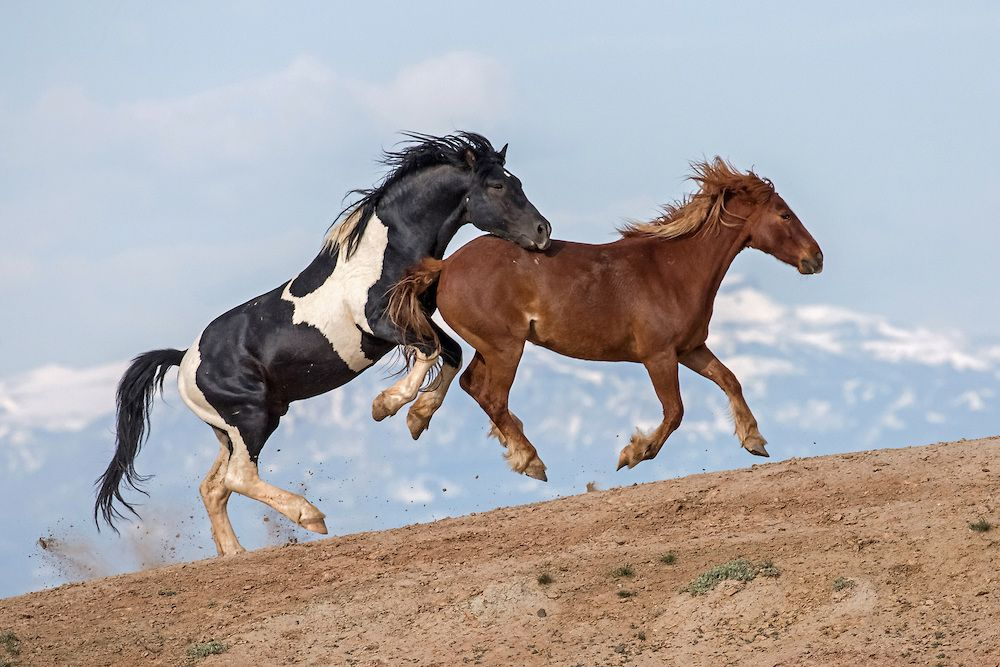 The young stallion, Takula, clumsily pursues one of his sire, Lonesome's mares. Lonesome will tolerate this type of behavior for a time, but as Takula matures, Lonesome will chase him from the band. At that time, he will most likely join a herd of bachelors until he establishes a family of his own.