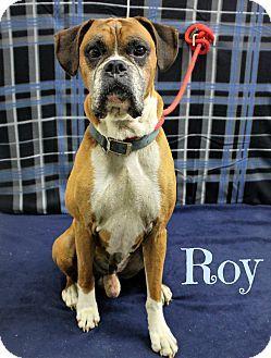 Melbourne Ky Boxer Meet Roy A Dog For Adoption Http Www Adoptapet Com Pet 16767677 Melbourne Kentucky Boxer Con Immagini