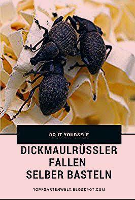 Photo of Dickmaulrüssler im Garten | Erdbeeren kaputt | Dickmaulrüssler Falle selber bauen!