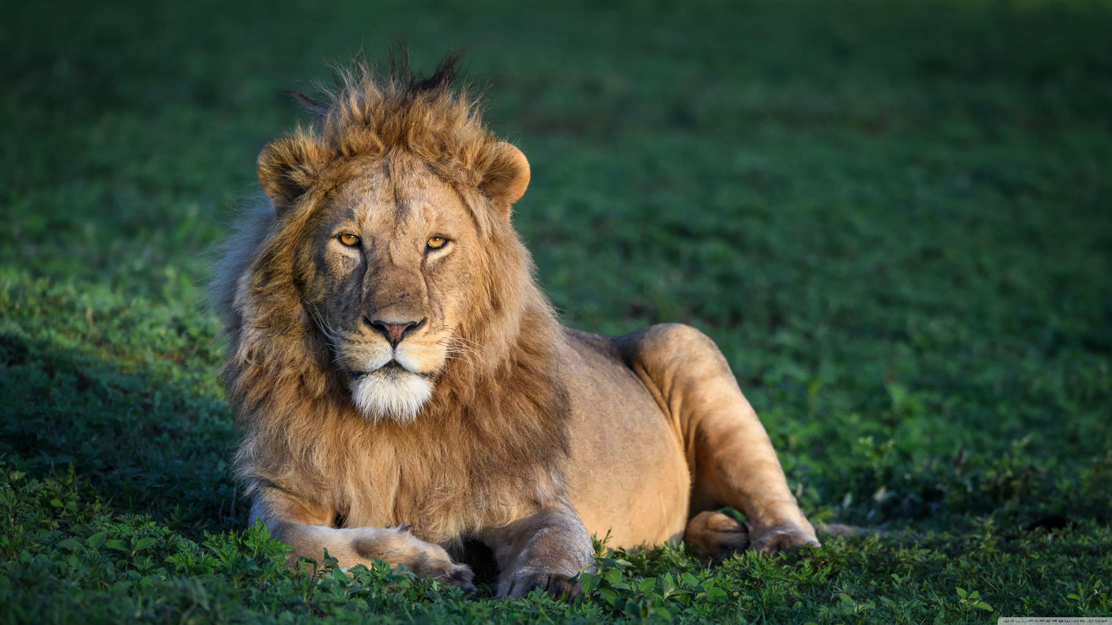 Male Lion Wallpaper Hd   Lion wallpaper, Male lion, Lion