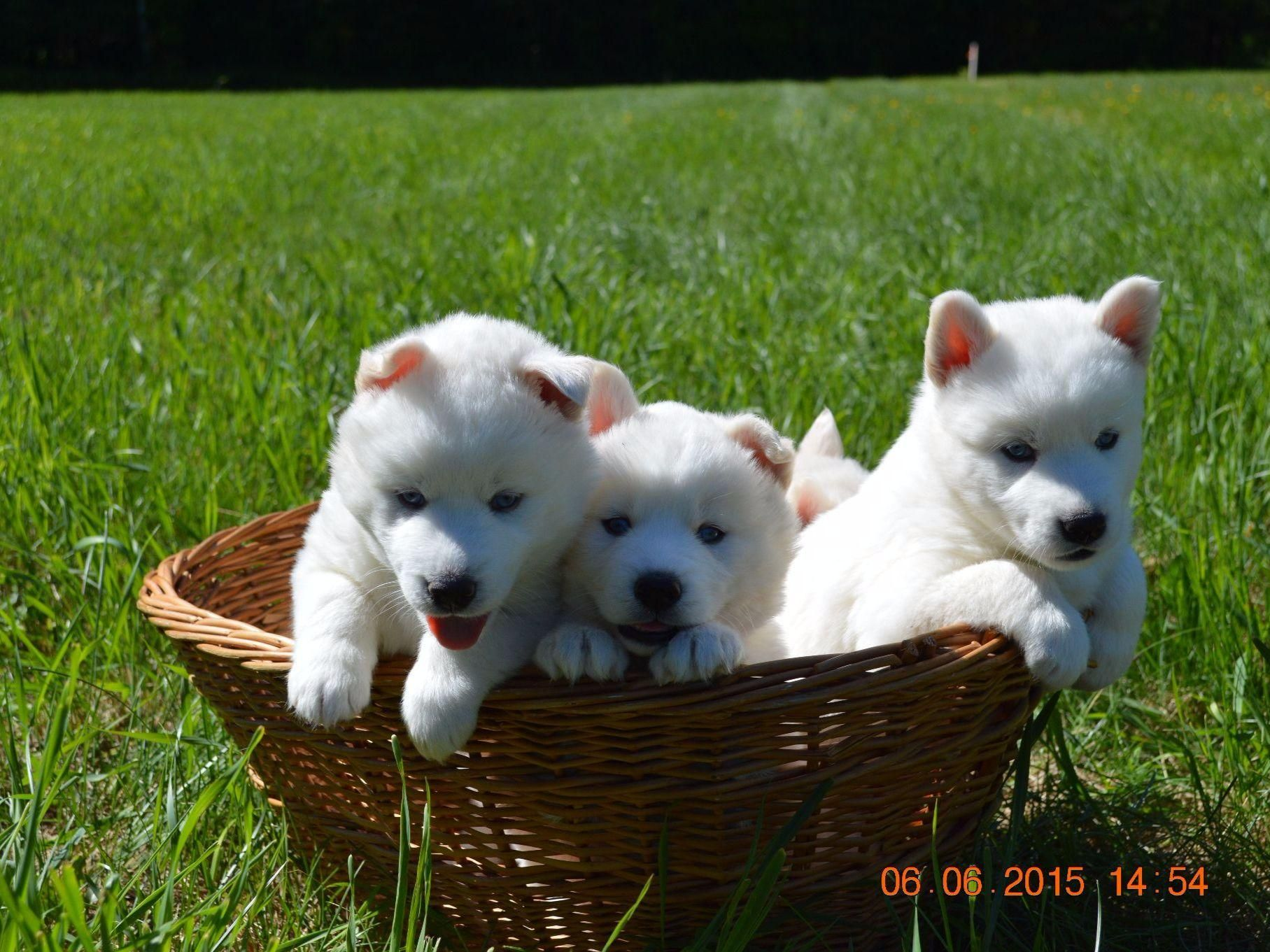 Snow Wooly Husky Has Puppies For Sale On Akc Puppyfinder Husky