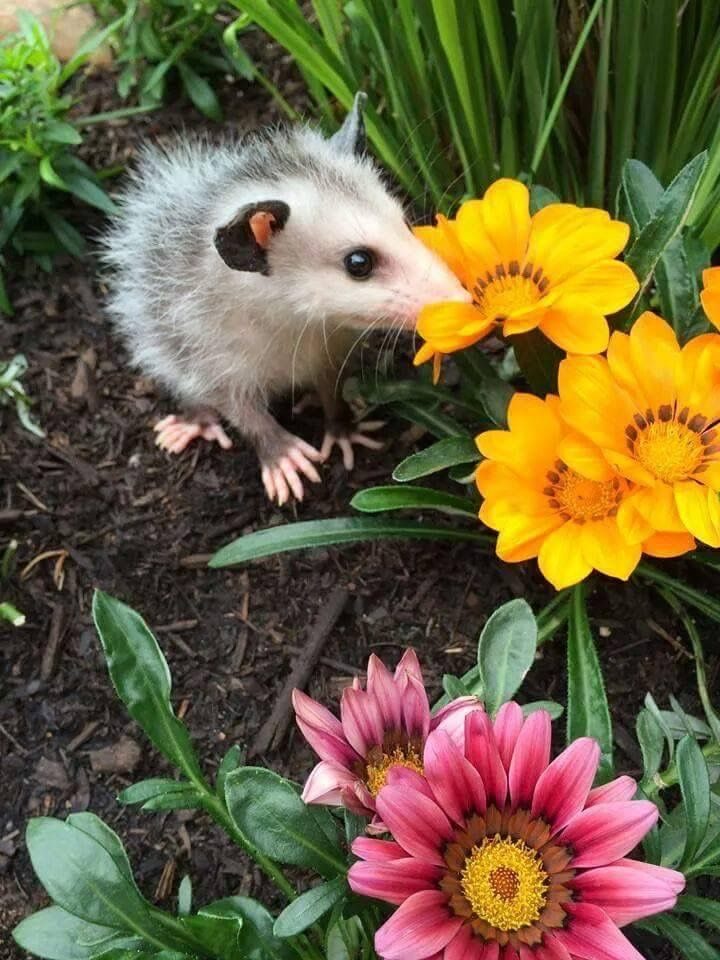 Pin By Abbie Waldie On Zarigueyas Y Otros Animales Opossum Cute Creatures Possum