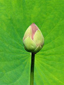 Nelumbo nucifera wikipedia the free encyclopedia lotus flowers nelumbo nucifera wikipedia the free encyclopedia mightylinksfo