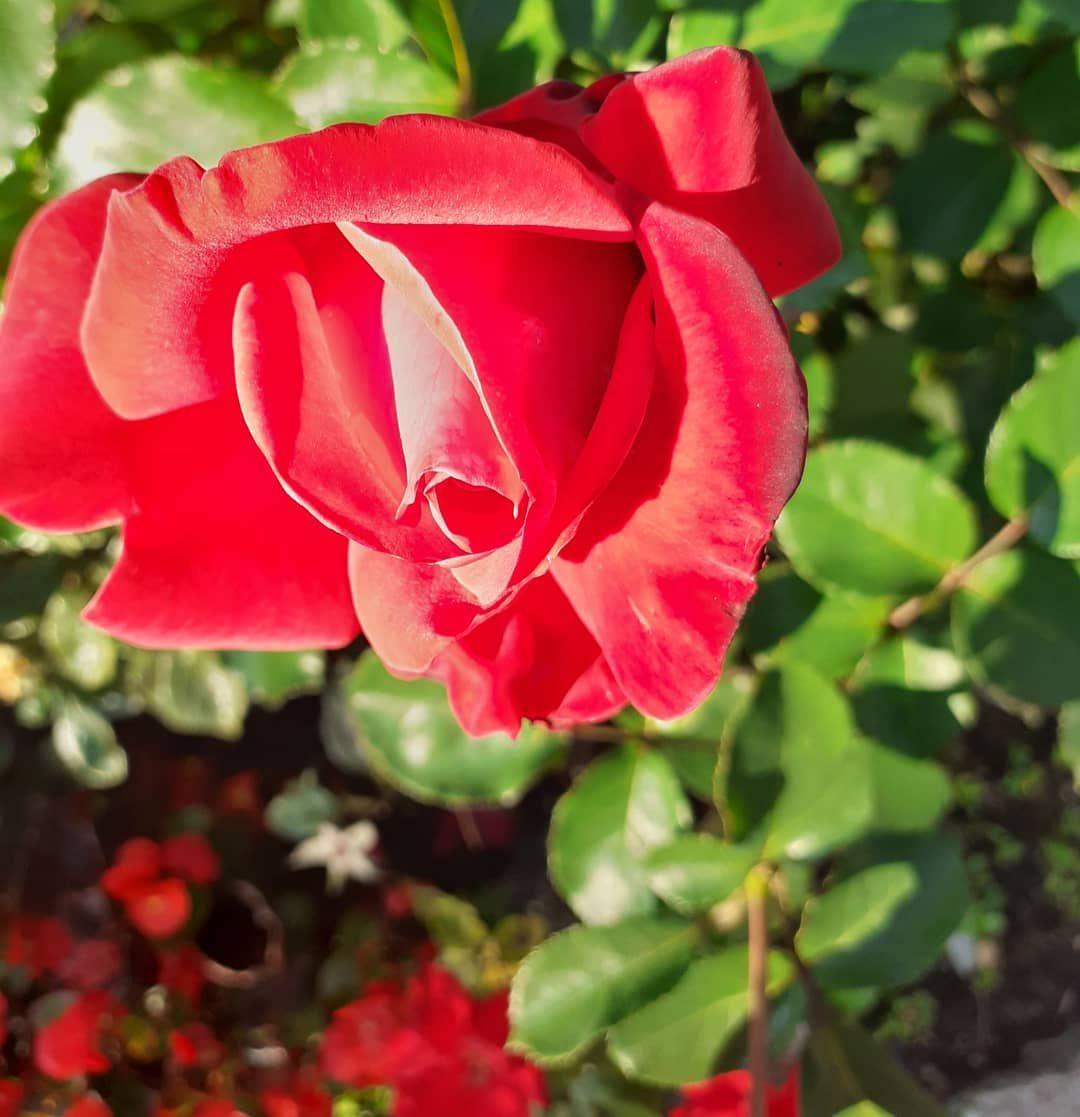 Imgarten Giardino Gardeninspiration Gardening Gartenideen Blumenfotografie Rose Rose Roses Gartengestaltung Garten Ideen Garten Blumen Fotografie