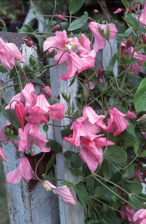 Beautiful Flowers Clematis Alionushka Pink Flowered Climbing Perennial Vine On Blue Wood Picket