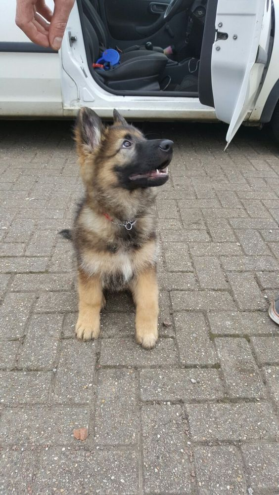 This German Shepherd Puppy Is So Cute Gsd Puppies Puppies Dogs