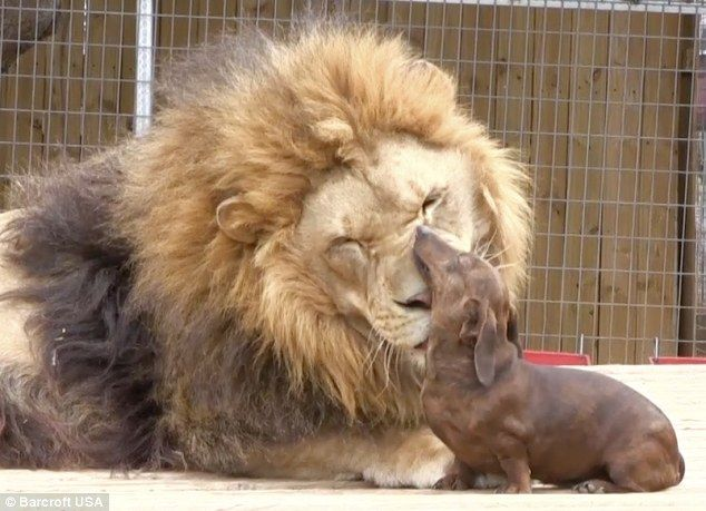 Lion And Dachshund Are Best Friends 7 Pictures With Images