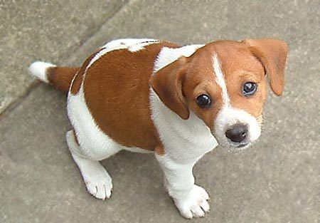 Jackabee Jack Russell Terrier Beagle Mix Info Puppies Pictures