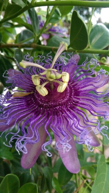 Purple Passion Vine Love This Flower And So Do All My Wonderful Butterflies Passion Vine Passion Flower Orchids