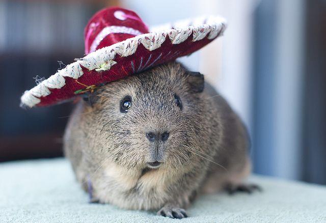 Hola Me Llamo Jose Cobayos Guinea Pigs Baby Guinea Pigs Cavy