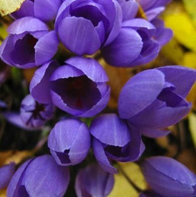 Autumn crocus, with its two- to three-week September show of colorful clustered flowers, is only vaguely related to its spring cousin.