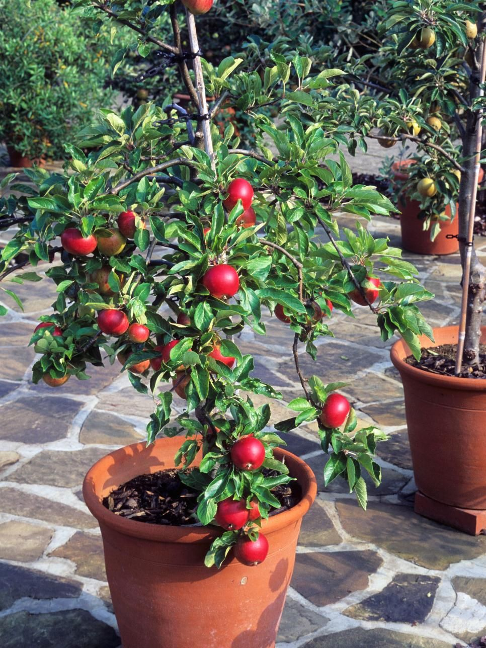Container gardening 9 fruit plants for pots small for Small garden ideas with pots