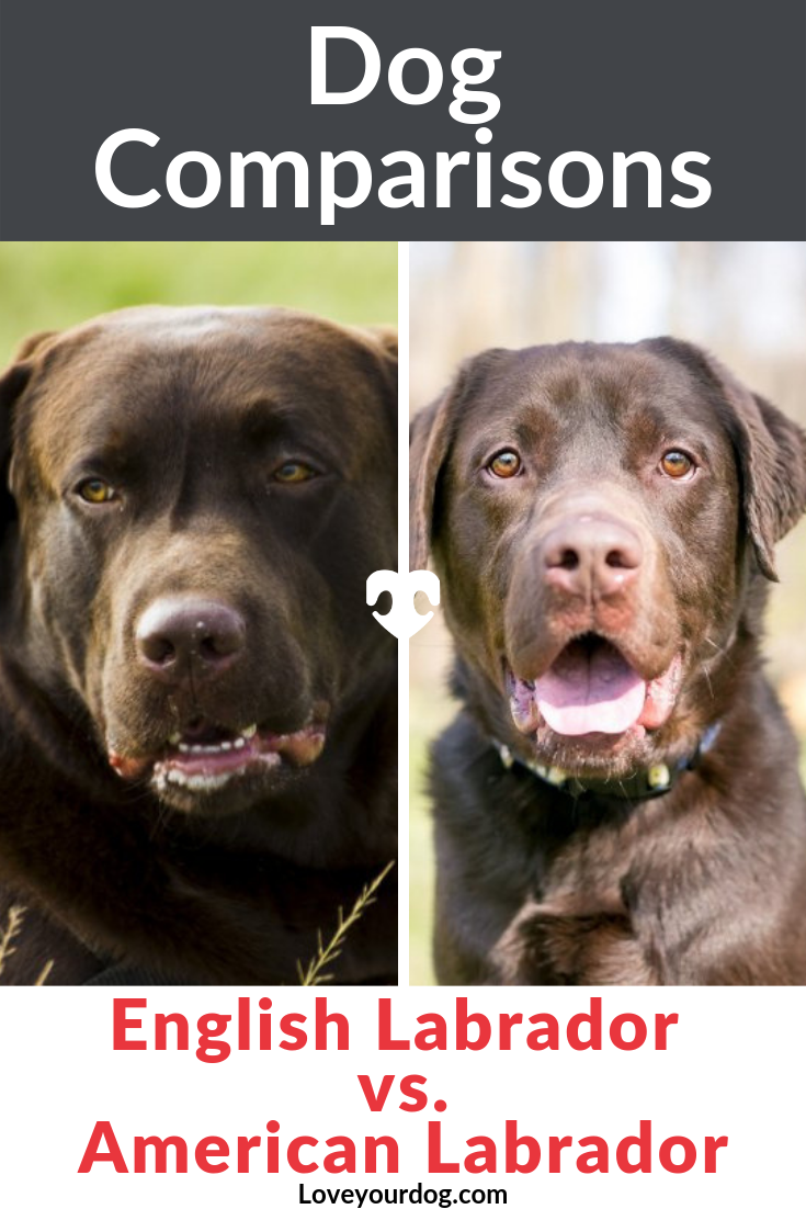 English Labrador Vs American Labrador What S The Difference