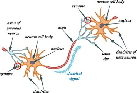 Every Organ Tells A Story 5 A History Of Anatomical Terms Neuron Diagram Neurons Neuron Structure