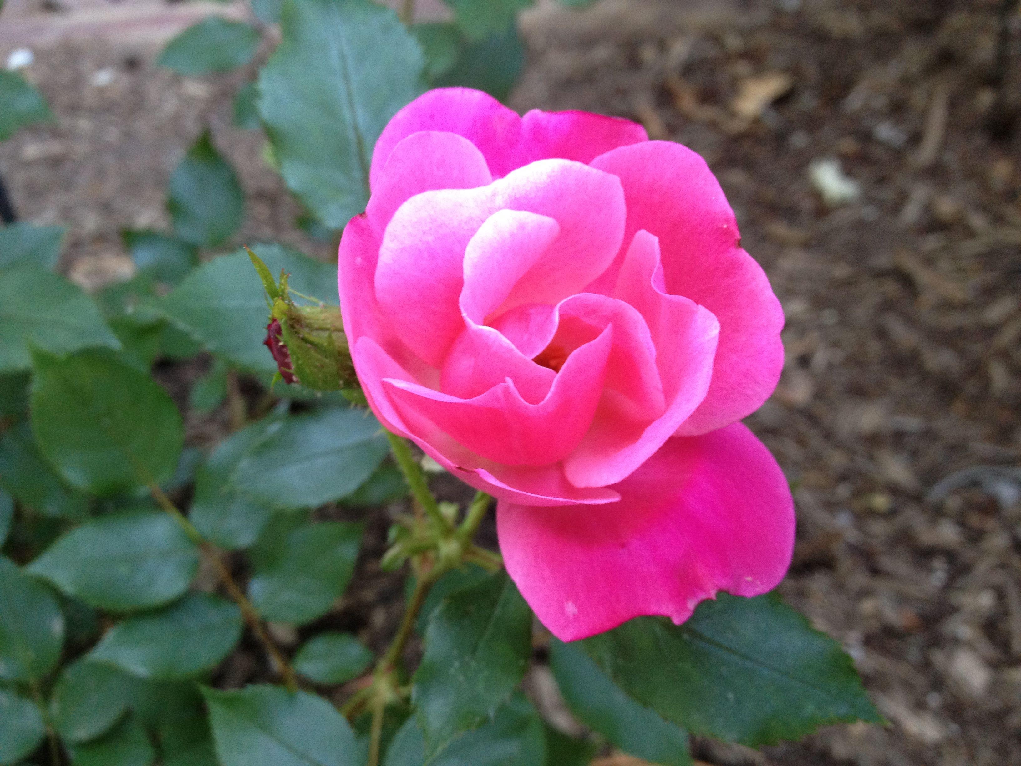 Pretty pink lady!
