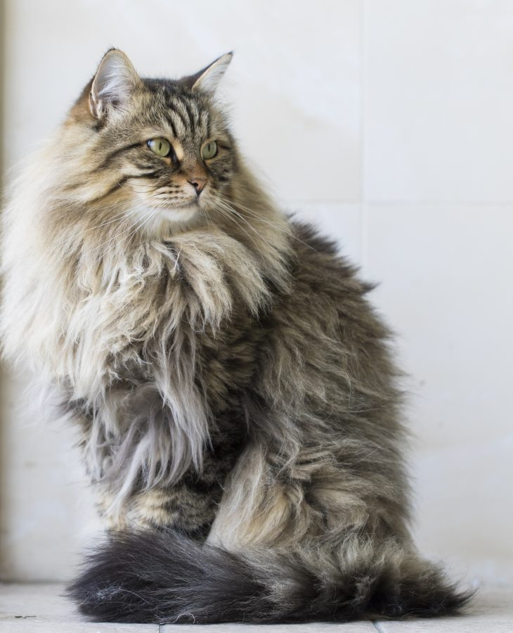 Are Siberian Cats Hypoallergenic? Tips for Families with