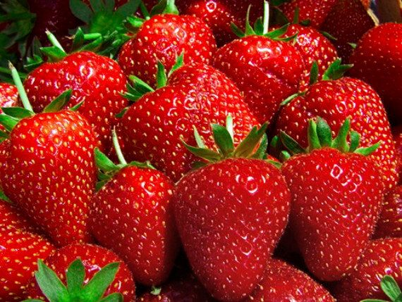 50 Eve Everbearing Strawberry Plants – BEST BERRY! – Bare Root Plants