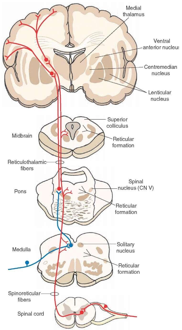 Reticulothalamic tract | Neuroanatomy | Pinterest | Reticular ...