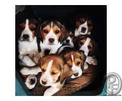 Puppy dogs for sale in Mumbai, Maharashtra, India in Pet