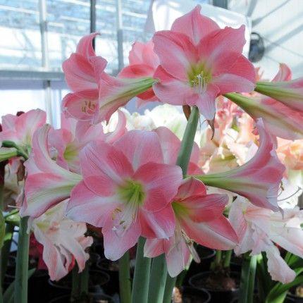 Amaryllisses Amaryllis Amaryllis And No Bulb Flowers Flower Pots Amaryllis Flowers