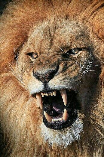 Pin by Amelia Pattison on animal | Pinterest | Beast mode, Lions and ...